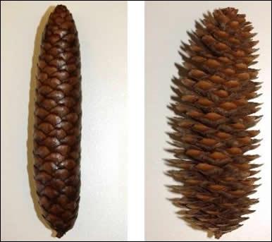 Ce fruit du pin et du sapin est joli, et utile pour connaître  quoi donc  sans ouvrir la radio ?