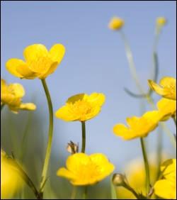 Pour savoir si on aime le beurre, on place la corolle nacrée du bouton d'or sous le menton, afin de vérifier s'il y a un reflet jaune. Mais le même exercice signifie aussi du fait du rayonnement...