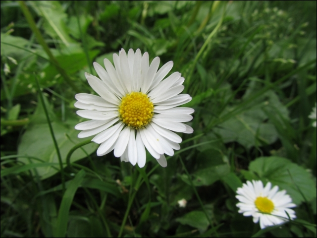 A condition de choisir les fleurs aux plus longues tiges, on peut facilement transformer les trèfles et les pâquerettes en ce qui était un cadeau à langage des temps médiévaux...