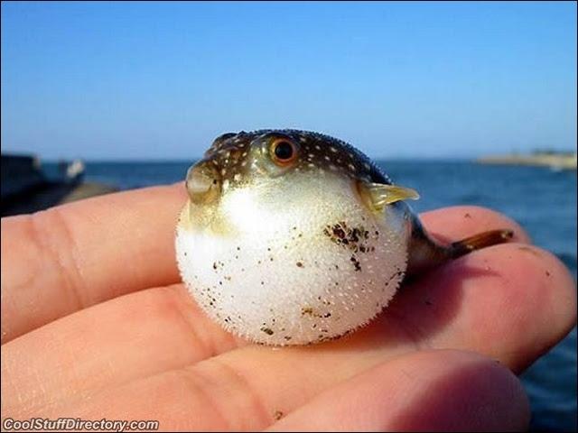 Au Japon, on appelle fugu votre cousin, mortel à la consommation s'il n'est pas préparé par un chef expérimenté et reconnu !