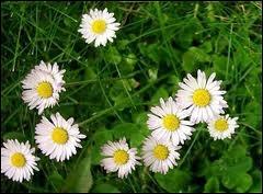 Pour traiter l'hypertension et l'artériosclérose, la phytothérapie utilise la pâquerette. Cette fleur présente aussi d'autres particularités. En voici trois, laquelle est fausse ?