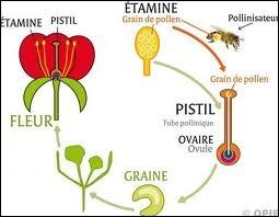 Quel est l'adjectif qualifiant la pollinisation par les insectes butineurs : pollinisation…