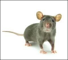 Humour : une souris sort avec un rat. Le rat est invité à manger dans la famille de la souris. En dînant, la souris rougit. Son père lui dit :  ma fille, pourquoi rougis-tu ?  . Que répond-t-elle ?