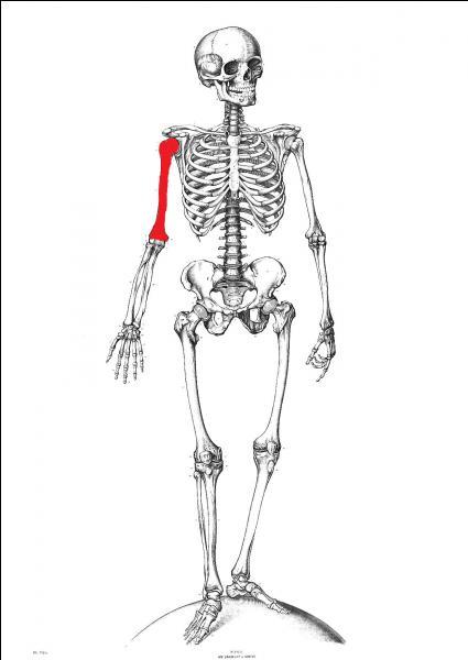 Quel est le nom de l'os qui se situe entre l'épaule et le coude ?