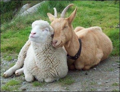 Selon une étude scientifique (et inutile), on a découvert que les chèvres appartenant à un même groupe développent...