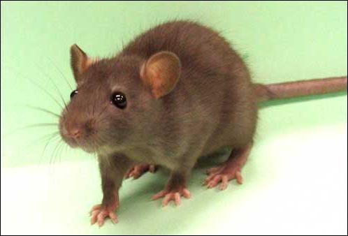 Une autre étude, menée sur des rats, a démontré qu'ils. .