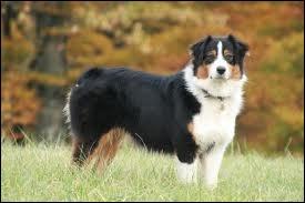 Est-ce que ce chien est un berger australien ?