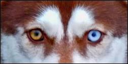 Les bergers australiens peuvent-ils avoir les yeux vairons ?