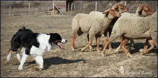 En quoi les bergers australiens sont-ils spécialisés ?