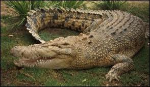 À quelle espèce appartient ce crocodile ?
