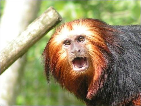 À quelle espèce appartient ce singe ?
