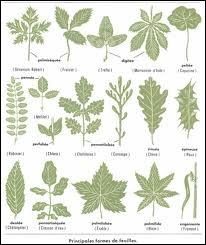 Quel est ce dispositif des végétaux situé le plus souvent sur la face inférieure des feuilles et percé d'un minuscule orifice (ostiole) servant à la respiration et à la transpiration des plantes ?