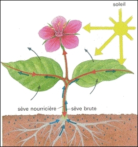 La photosynthèse des végétaux, pour avoir lieu, requiert la présence d'eau, de chlorophylle et de 2 autres éléments, cochez donc l'intrus.