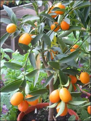 Quel est cet arbuste qui produit ces petits fruits amers ?
