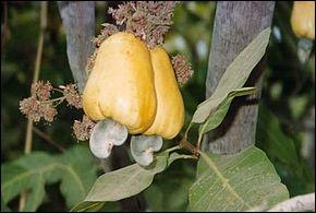 Quel est cet arbre dont l'amande du fruit est la noix de cajou ?