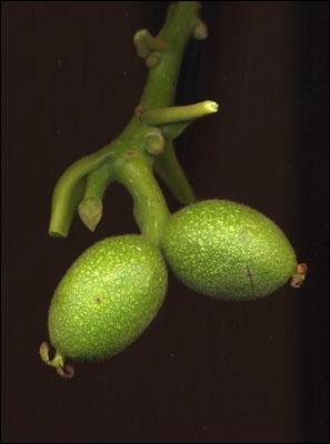De quel arbre sont issus ces fruits ?