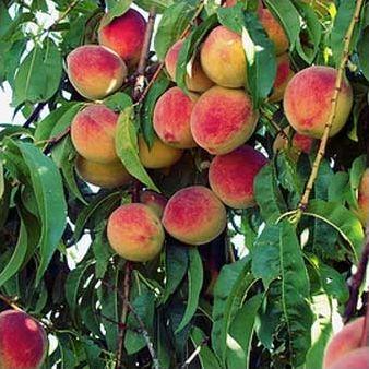 Des arbres et leurs fruits