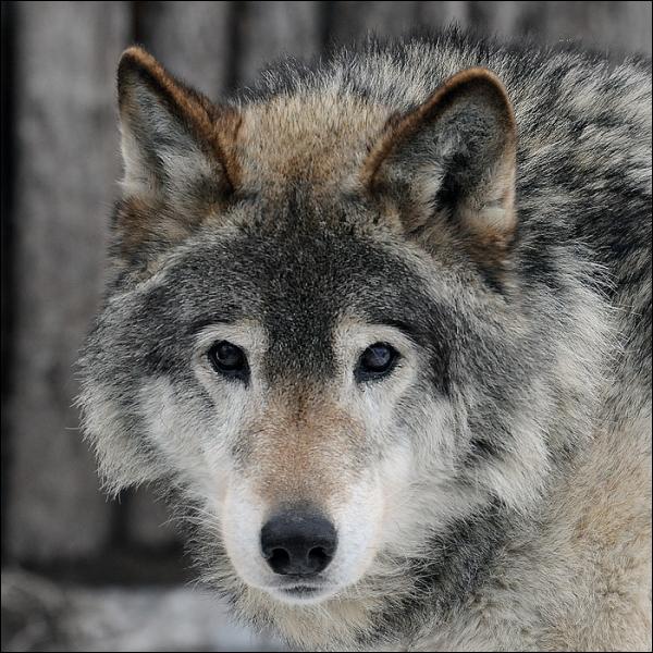Les loups attaquent ses rennes, alors Serguëi les traque impitoyablement, jusqu'au jour où ... il rencontre une louve et ses louveteaux ! !