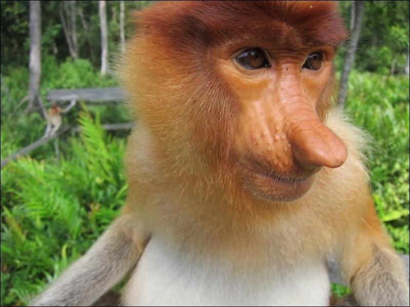 Quel est le nom de cette rare espèce de singe possédant un long nez et vivant dans les forêts de Bornéo ?