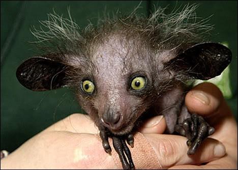 Quelle est cette espèce de primate vivant à Madagascar et menacée d'extinction ?