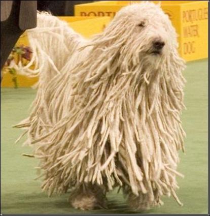 Quelles est cette race de ce chien de grande taille rare en France et de la famille des bergers ?