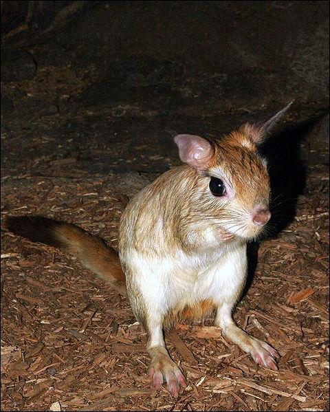 Quel est ce rongeur ayant une queue touffue et vivant en Afrique du Sud ?