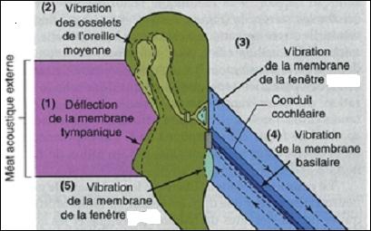 La chaîne des osselets transmet les vibrations du tympan à la fenêtre ovale en les amplifiant. Que subit la fenêtre ovale ?