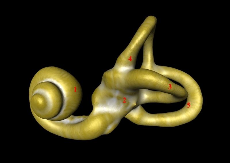 Le labyrinthe osseux est formé de divers éléments dont :