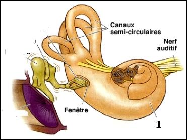 Quizz conna tre l 39 oreille quiz corps humain anatomie for Fenetre ovale oreille