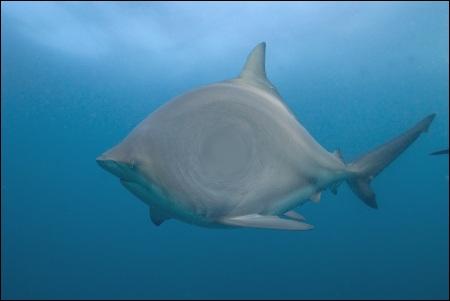 Des plaisanciers pourraient-ils admirer ce requin ?