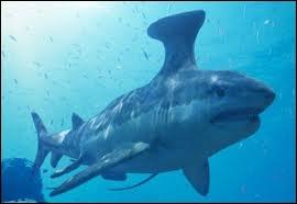 Ce requin écume t-il nos océans ?