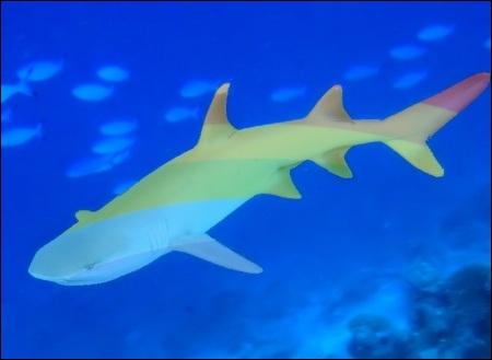 Diriez-vous que celui-ci est un authentique requin ?