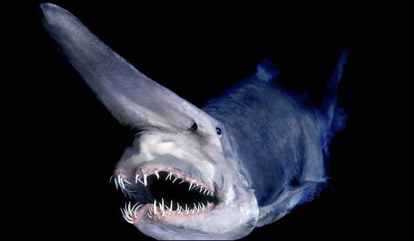 Est-ce possible d'observer ce requin ?