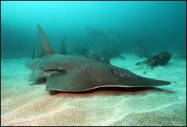 Peut-on croiser ce requin dans nos océans ?