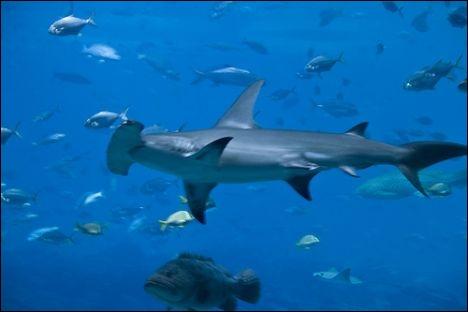 Un plongeur a-t-il pu photographier ce requin ?