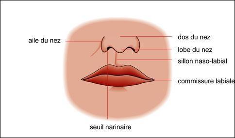 Commençons simplement et sans piège. En livrant passage à l'air, le nez contribue à la respiration, à l'olfaction et :