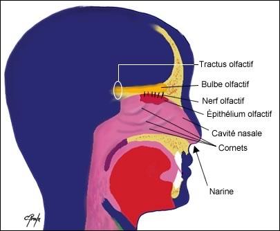 Pour quelle raison la muqueuse nasale est-elle rose ?