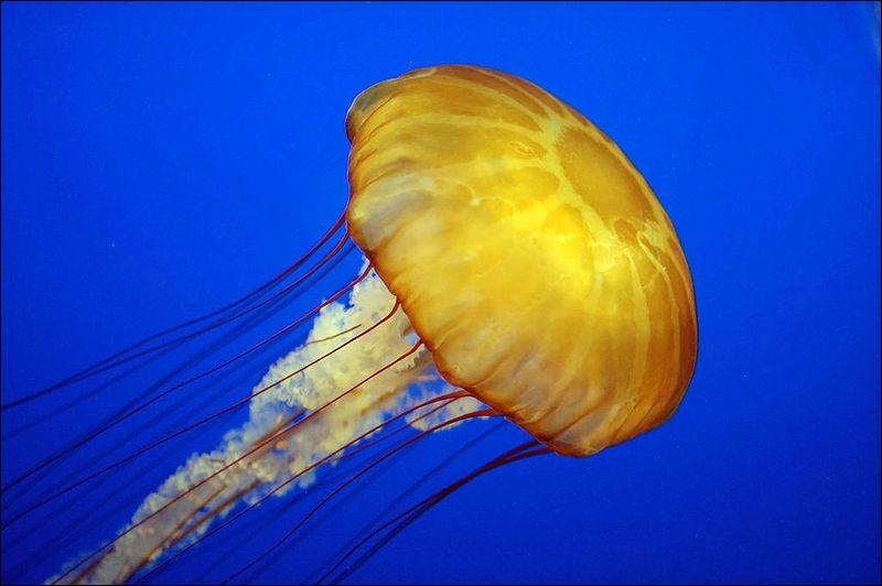 Comment se traduit  une méduse  en anglais ?