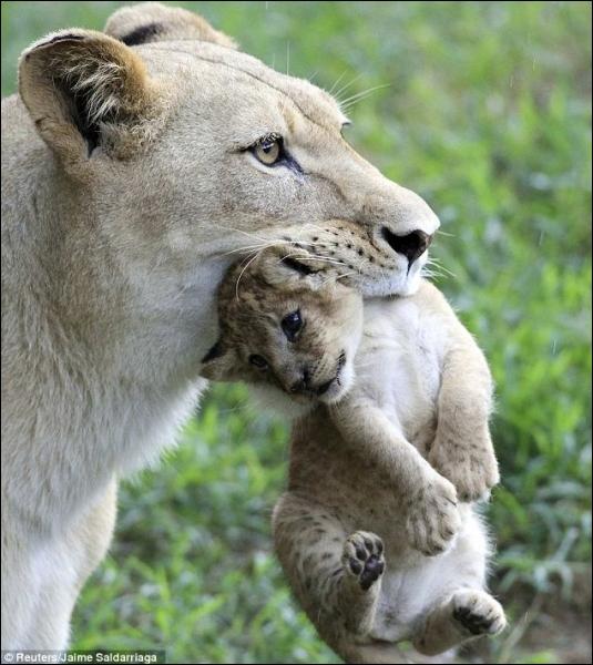 Il n'y a qu'en Afrique que vous pouvez rencontrer une lionne et son lionceau, à l'état sauvage !