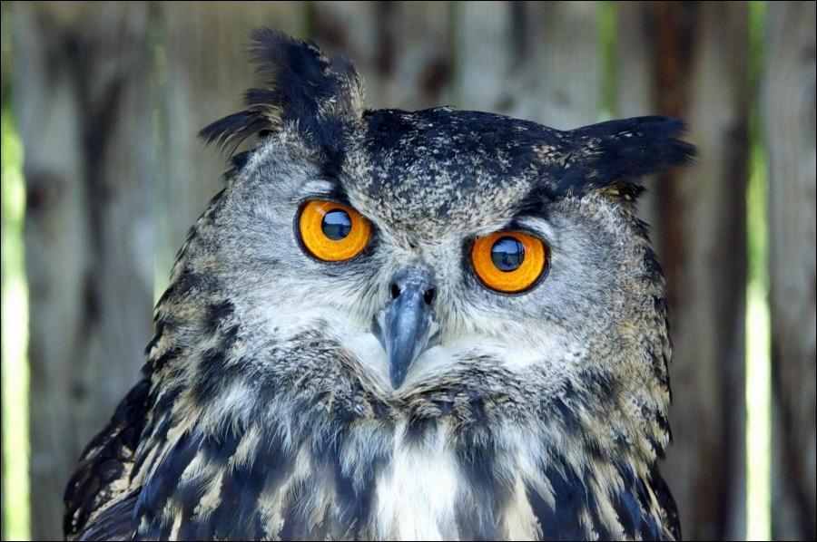 Vous voyez les deux petits plumets sur la tête de ce rapace nocturne, c'est donc la chouette !