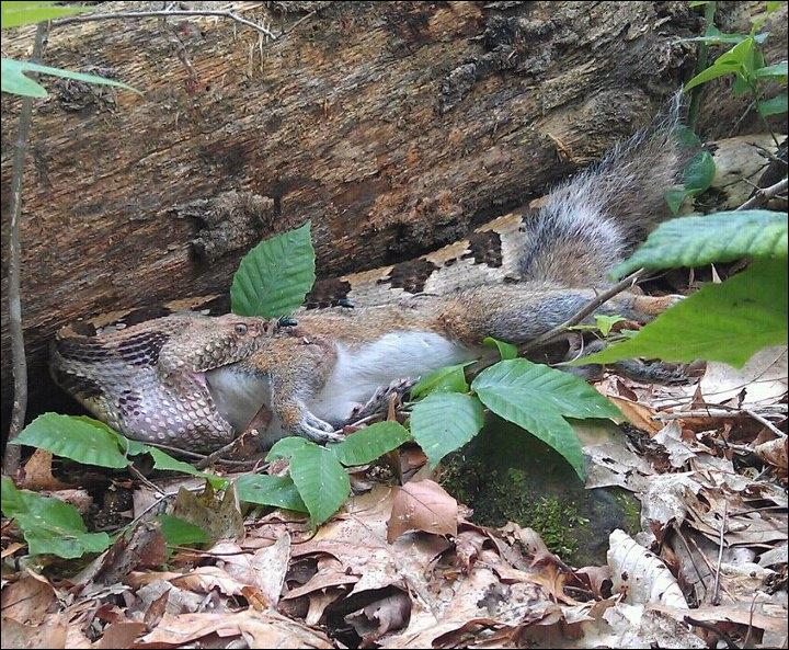 On trouve ce serpent venimeux en Amérique du nord et du sud, c'est le crotale !