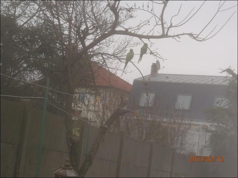On peut voir des perruches à collier sauvages en France !
