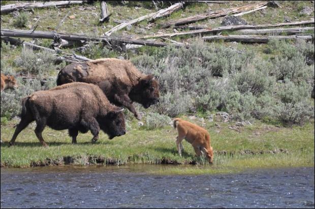 On trouve cet animal en Afrique, c'est le bison !