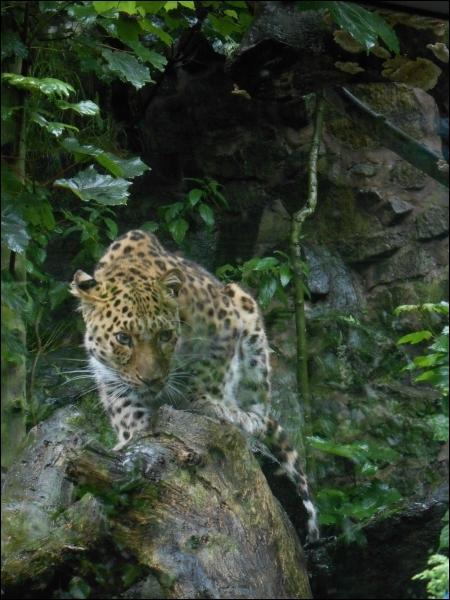 Admirez-le tant que pouvez encore, car il a pratiquement disparu, c'est la panthère de Chine ou léopard de l'Amour !