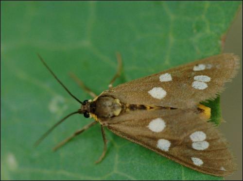 Le papillon pond un œuf, ce dernier éclot. Une larve sort de l'œuf : c'est une chenille qui va s'entourer d'un cocon pour devenir -----. Quelles sont les étapes suivantes ?