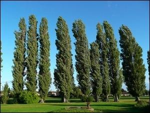 Les espèces d'arbres présentent un port de feuillage qui leur est particulier. Quel est celui de ce peuplier  nigra d'Italie  ?