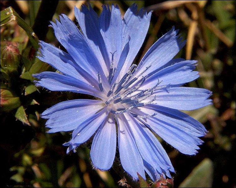 Et pour terminer : une belle fleur de chicorée qui nous offre des pétales disposés en rayon, et raccourcis à l'extrême. Cette forme de fleur est :