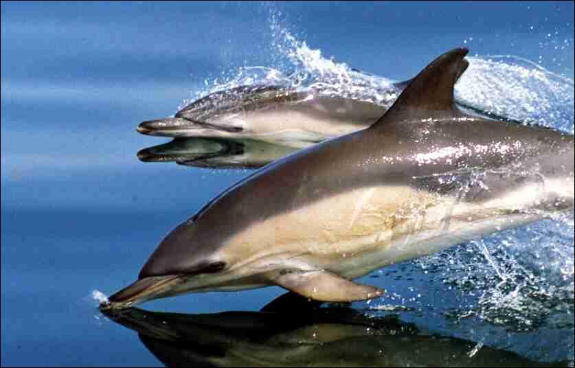 Quelle est la couleur du dauphin commun ?
