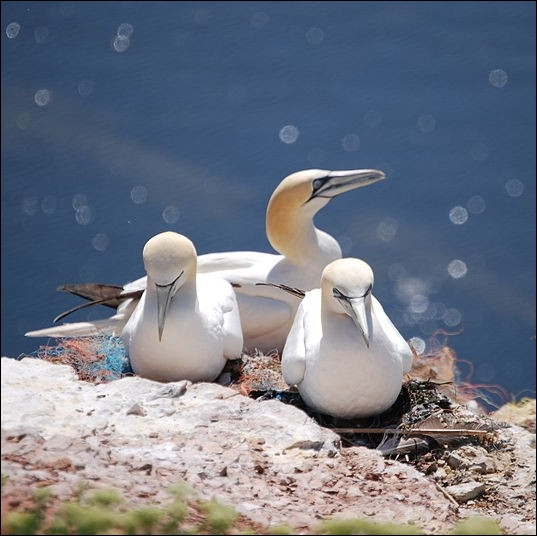 Le Fou de Bassan , oiseau de mer doit son nom à l'île de Bass Rock où nidifie une importante colonie. Où se situe cette île ?