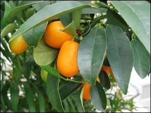 J'adore les espèces de fruits orange clair qui s'appellent les kumquats. Pierrot Brave en profite pour affirmer que je n'ai pas de :